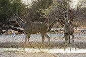 Two greater kudu females (Tragelaphus strepsiceros), drinking at waterhole at sunrise, Kalahari, Botswana