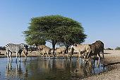 A remote camera image of greater kudu females (Tragelaphus strepsiceros), and Burchell's zebra (Equus burchellii) at waterhole, Kalahari, Botswana