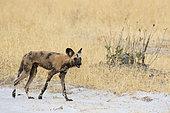 African wild dog (Lycaon pictus), Savuti, Chobe National Park, Botswana