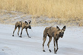 Two African wild dogs (Lycaon pictus) walking on a road in Savuti, Chobe National Park, Botswana