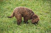 Young truffle dog, Lagotti Romagnolo breed, sniffing for truffles, Bonvillars truffle market, Switzerland, Europe