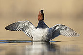 Common Pochard (Aythya ferina). An adult male stretching its wings. Taken in spring in Sweden