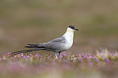 Long-tailed Jaeger (Stercorarius longicaudus). An adult bird feeding among the flowers on the tundra. Taken in June in Sweden.