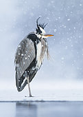 Grey Heron (Ardea cinerea). A adult bird standing on the ice during a snowstorm. Taken on a wintering spot in Sweden.