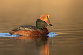 Horned Grebe (Podiceps auritus). A adult bird swimming on the water at sunset. Taken in Sweden in early spring