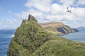 Fulmar boréal (Fulmarus glacialis) adulte survolant l'île de Mykines au printemps au début de la saison de reproduction, Iles Féroé.
