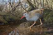 Water Rail (Rallus aquaticus). A adult rail walking through the understory of a marsh. Taken in January in Sweden.