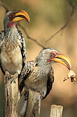 Southern Yellow-billed Hornbill (Tockus leucomelas) male offering a big caterpillar to a female, South Africa