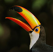 Toco toucan (Ramphastos toco), animal portrait with open beak, Pantanal, Mato Grosso, Brazil, South America