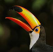 Portrait d'un Toucan toco (Ramphastos toco), bec ouvert, Pantanal, Mato Grosso, Brésil
