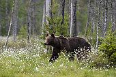 Ours brun européen (Ursus arctos) marchant dans une prairie de linaigrette en fleurs, Kuhmo, Finlande.