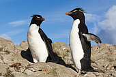 Gorfous sauteurs (Eudyptes chrysocome), île Pebble, îles Falkland