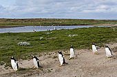 Gentoo penguins, Pygoscelis papua, walking from the beach to join the colony after fishing, Sea Lion Island, Falkland Islands