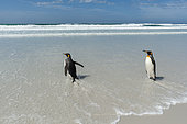 King penguins, Aptenodytes patagonica, going to the sea, Volunteer Point, Falkland Islands