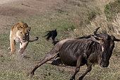 Lion (Panthera leo) lioness pursuing a Blue wildebeest (Connochaetes taurinus), Masai Mara, Kenya.