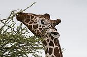 Reticulated Giraffe (Giraffa camelopardalis reticulata), Samburu National Park, Kenya.
