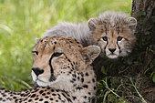 Cheetah (Acynonix jubatus) and cub, Masai Mara, Kenya
