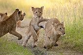 Lion cubs (Panthera leo), Masai Mara, Kenya