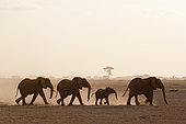 African elephants (Loxodonta africana), Amboseli National Park, Kenya.