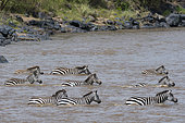 Grant's zebras, Equus quagga boehmi, crossing the Mara river, one of the most difficult and dangerous river crossings of the Great Migration, Masai Mara National Reserve, Kenya.
