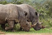 White Rhinoceros (Caratotherium simum), Kariega Game Reserve, South Africa.