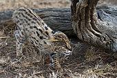 Young Serval Cat (Felis serval), Captive, Hoedspruit Endangered Species Centre, Kapama Game Reserve, South Africa.
