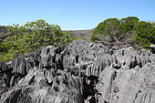 Few trees emerge from the cutting edges of the tsingy turrets, ancient fossil coral reef with sharp edges emerges from the ocean, Ankarana National Park, NP 18 220 ha over 35 km, Northwest Madagascar