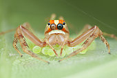 Viciria praemandibularis ; Wide-jawed viciria spider guarding eggs ; Female Wide-jawed viciria spider guarding her eggs ; Singapore
