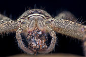 Sparassidae, Heteropoda venatoria ; Huntsman Spider with Prey ; Portrait of a huntsman spider with prey ; Singapore