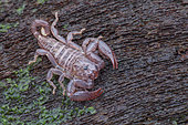 Scorpiones, Liocheles australasiae ; Dwarf Wood Scorpion ; Portrait of a Liocheles australasiae, the Dwarf Wood Scorpion ; Singapore