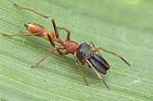 Salticidae ; Ant mimic Jumping Spider ; A jumping spider that specialise in mimicking ants ; Singapore