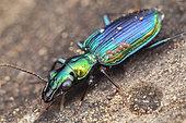 Catascopus dalbertisi ; Ground Beetle with mites ; Ground beetle with hitchhiking mites ; Singapore