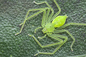 Sparassidae, Gnathopalystes sp. ; Jade Huntsman spider ; Top view of a Jade Huntsman spider ; Singapore