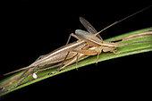 Gryllidae ; Mating cricket ; Mating cricket ; Singapore