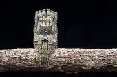 Araignée (Cyphalonotus sp) montrant ses capacités de camouflage, Singapour