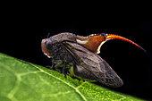 Machaerotidae ; Tube Spittlebug ; Backlit of a tube spittlebug ; Singapore