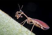 Neuroptera, Mantispidae ; Mantisfly ; Mantispidae, known commonly as mantidflies, mantispids, mantid lacewings or mantis-flies ; Singapore