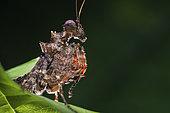 Mantodea ; Pachymantis bicingulata ; Portrait of a praying mantis, Pachymantis bicingulata ; Singapore