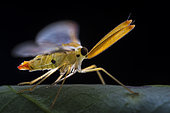 Derbidae ; Derbid planthopper ; Derbidae is a family of insects in the order Hemiptera and is one of the largest and most diverse families of planthoppers. ; Singapore