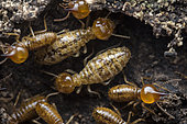 Nasutitermitinae ; Termites with translucent cuticles ; Termites have very thin cuticles that are often translucent. It's thought to be an adaptation to avoid wasting nitrogen, which is in limited supply for a lot of termite species. ; Singapore