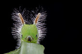Melanitis zitenius auletes ; Hairy Caterpillar ; Backlit of a hairy caterpillar ; Singapore