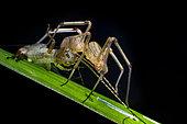 Scytodoidea ; Spitting spider with cricket prey ; Spitting spider with cricket prey. ; Singapore