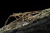 Sparassidae ; Mating Huntsman spider ; Mating huntsman spider on a tree trunk. ; Singapore