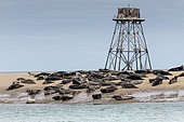 Walde Lighthouse and its colony of gray seals (Halichoerus grypus), Hemmes de Mark, côte d'Opale, Pas de Calais, France. It marks the place separating the North Sea and the Channel.
