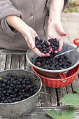 Making an old-fashioned blackberry jam in summer, Pas de Calais, France