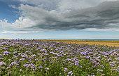 Lacy Phacelia (Phacelia tanacetifolia) in bloom in a field, Opal Coast, Hauts de France, France