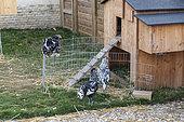 'Dalmatian' hen in an urban farm, Pas de Calais, France