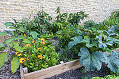 Cape Daisy (Osteospermum sp) planted in a kitchen garden in summer, Pas de Calais, France