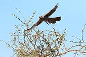 Touraco gris (Corythaixoides concolor) en vol, Parc national Kruger, Afrique du Sud