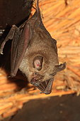 Swinny's horseshoe bat (Rhinolophus swinnyi), Kruger National Park, South Africa